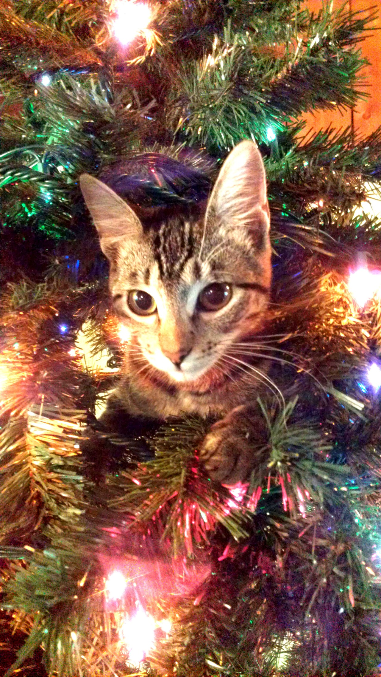 Boston (the cat) in a Christmas tree