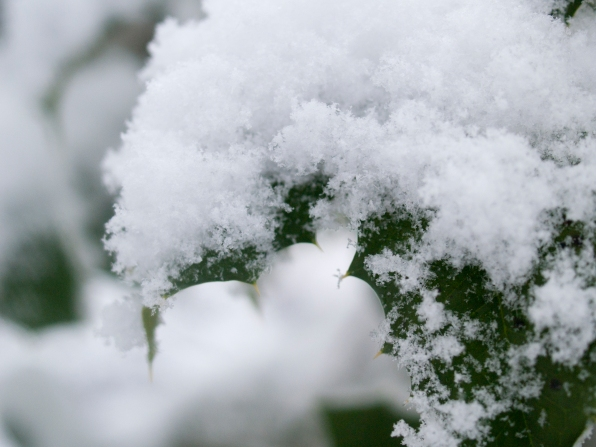 Snow covered holly tree