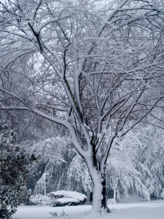 Apple tree covered in snow