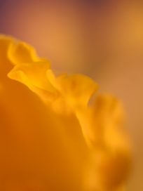 Macro of a daffodil